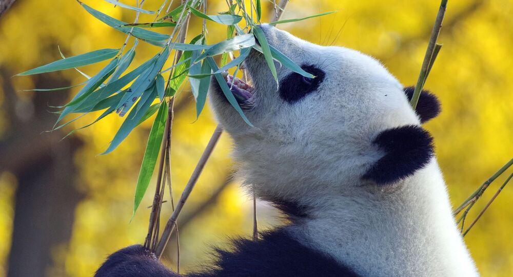 Un panda géant