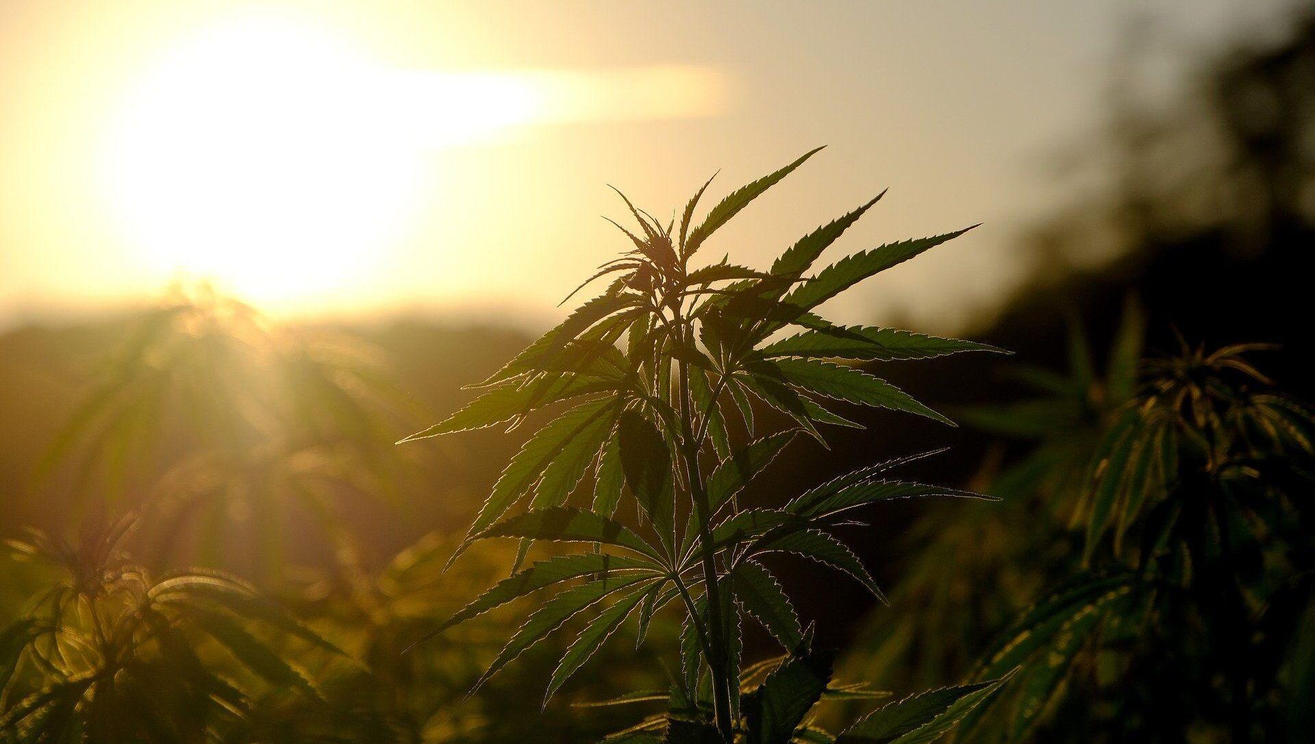 Un plant de cannabis - Sputnik France, 1920, 25.08.2021