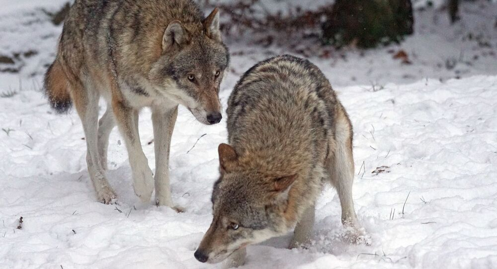 Des loups (image d'illustration)