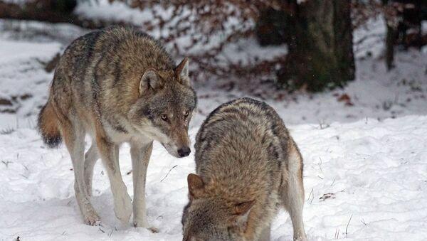 Des loups - Sputnik France