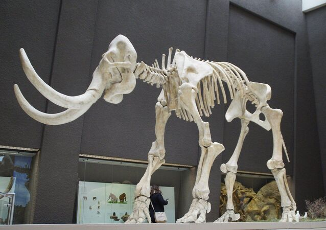 Une squelette de mammouth (image d'illustration)