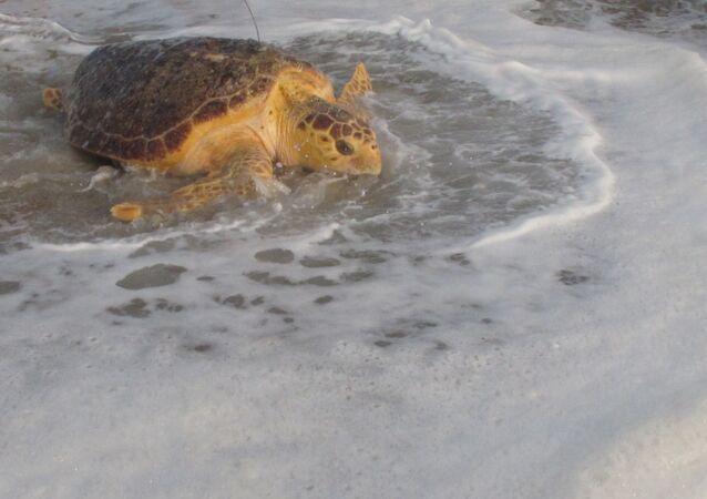 Une tortue libérée par le Sea Turtle Recovery en septembre 2015