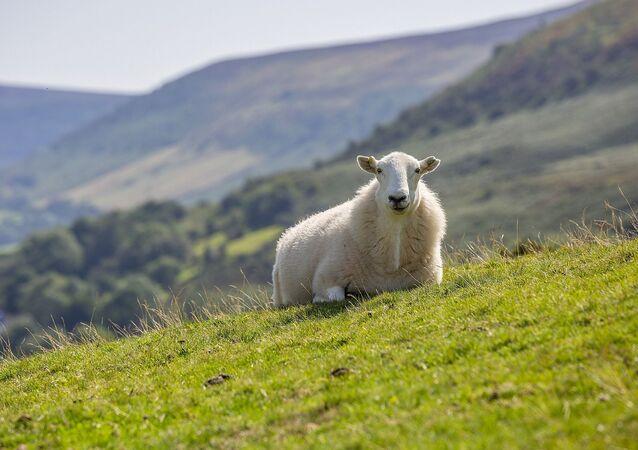 Un mouton (image d'illustration)