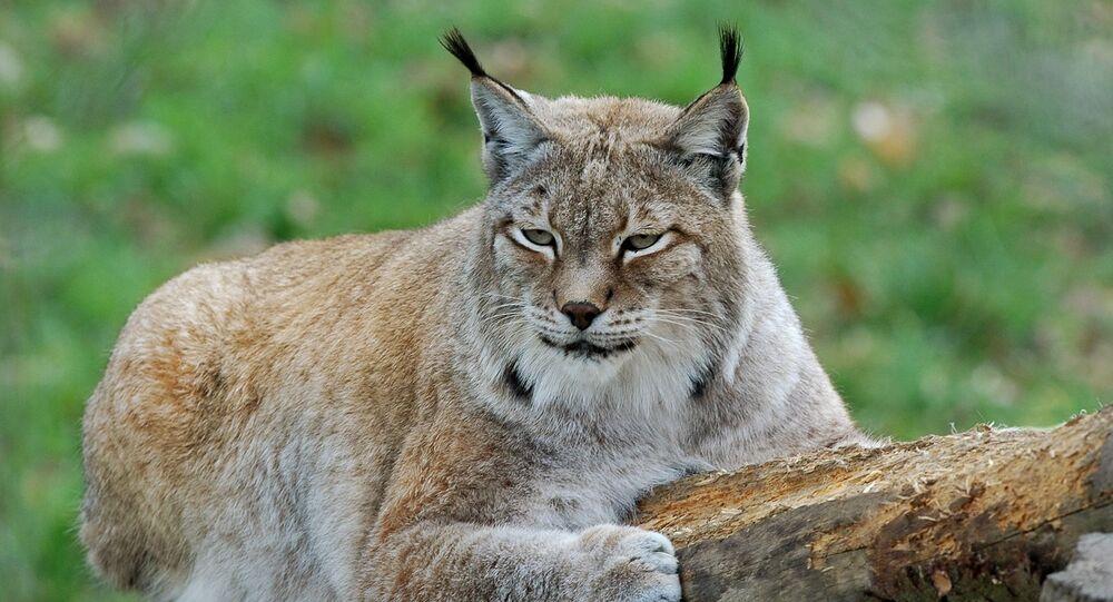 Un lynx (image d'illustration)