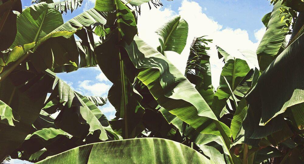 Plantation banane