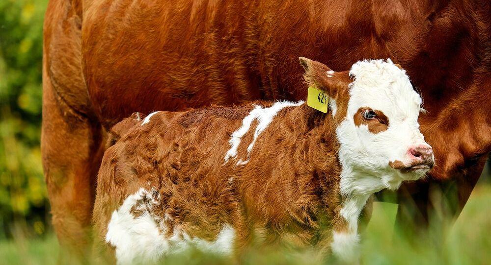 Jeune veau, photo d'illustration