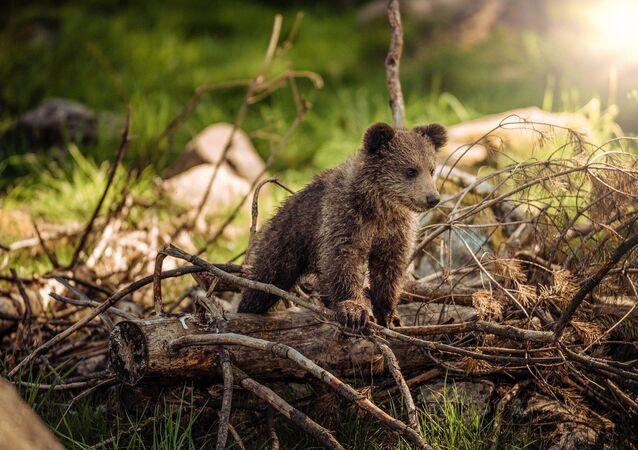 Dur d'être mère: une maman-ourse traverse la route avec ses oursons