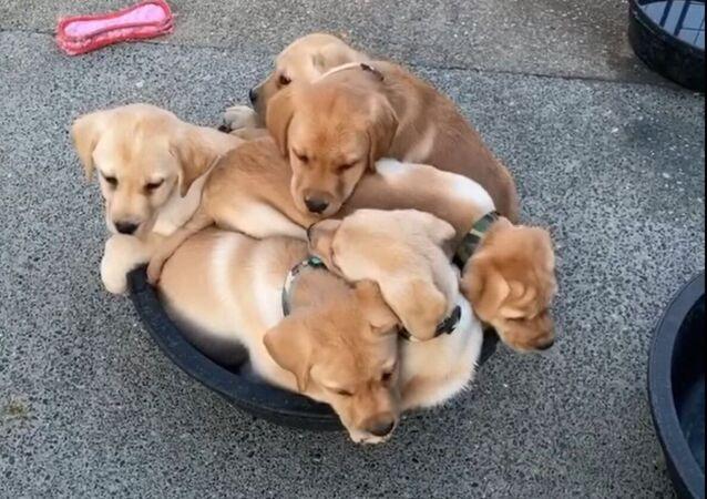 Six chiots dans une bassine