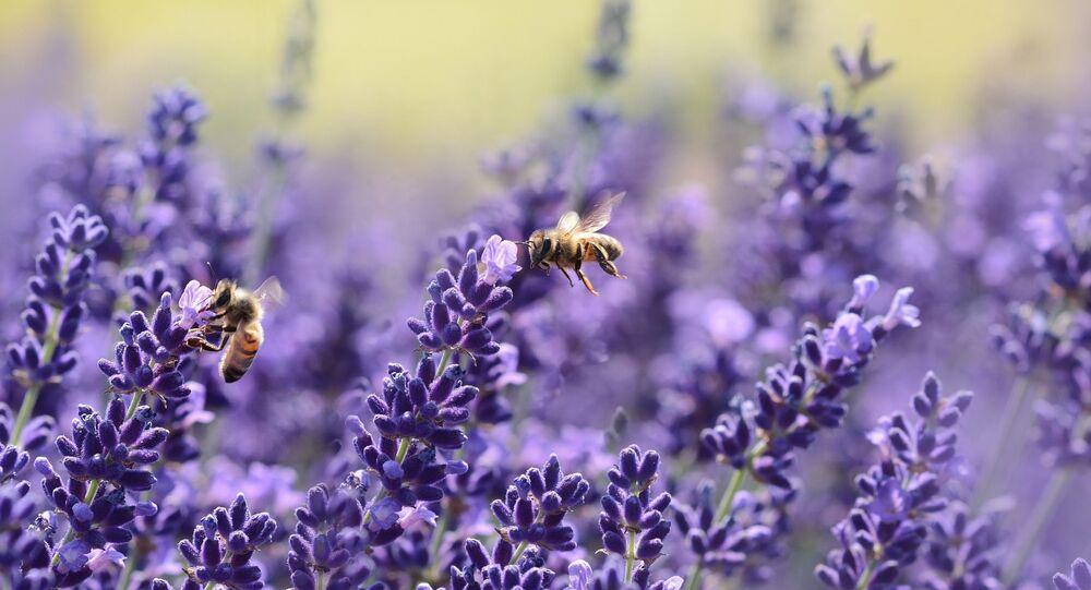 Abeilles sur fleur pourpre (image d'illustration)
