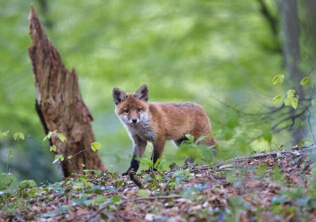 Un jeune renard