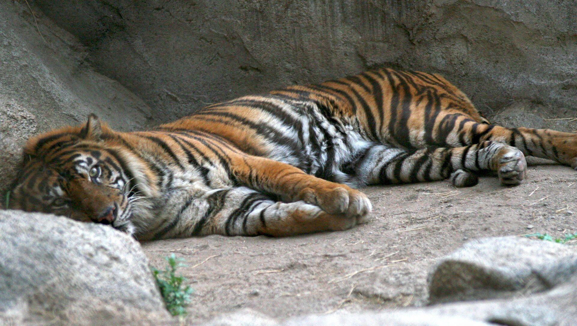 Un tigre de Sumatra (image d'illustration) - Sputnik France, 1920, 01.08.2021
