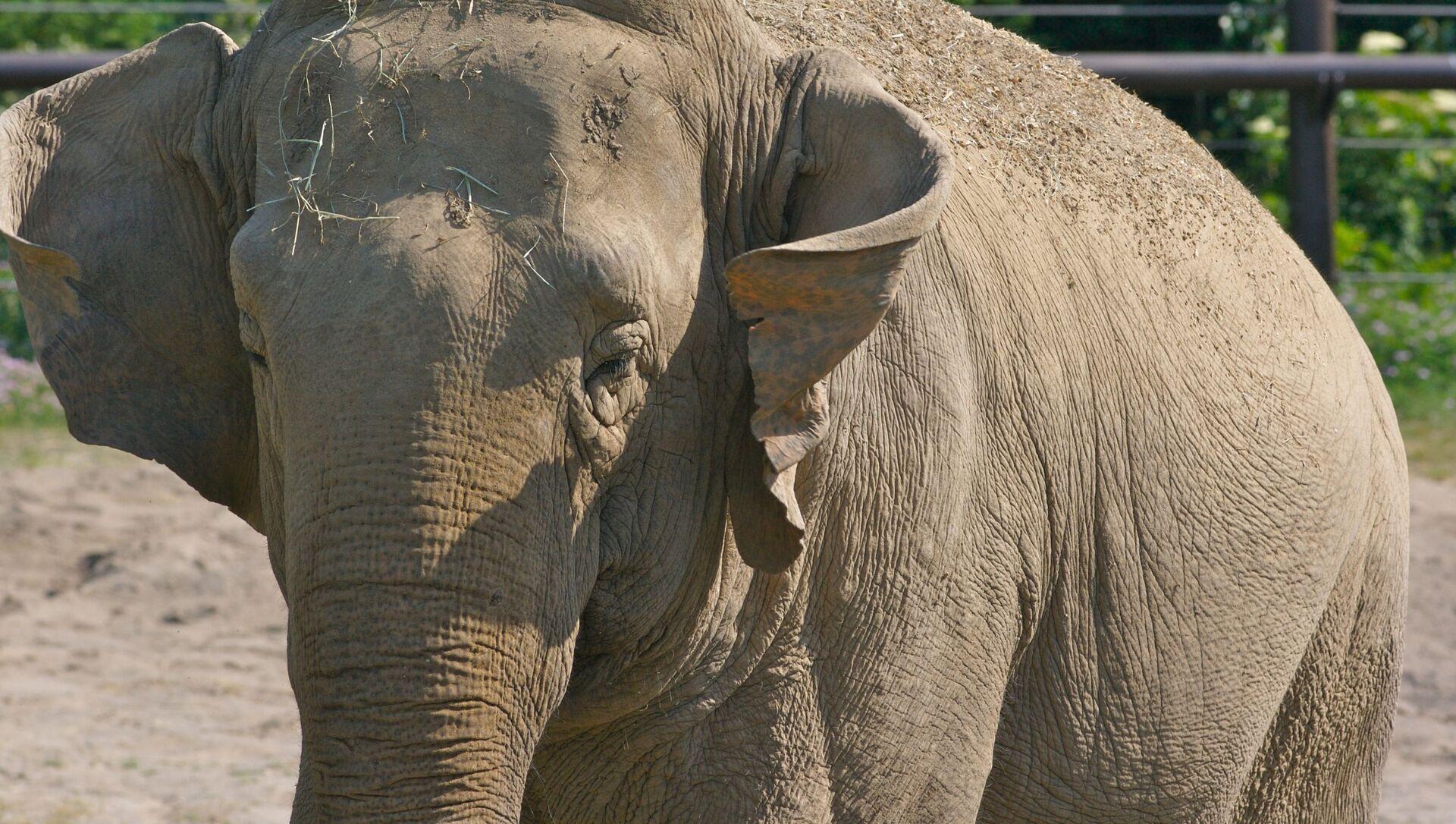 Un éléphant d'Asie (image d'illustration) - Sputnik France, 1920, 17.08.2021