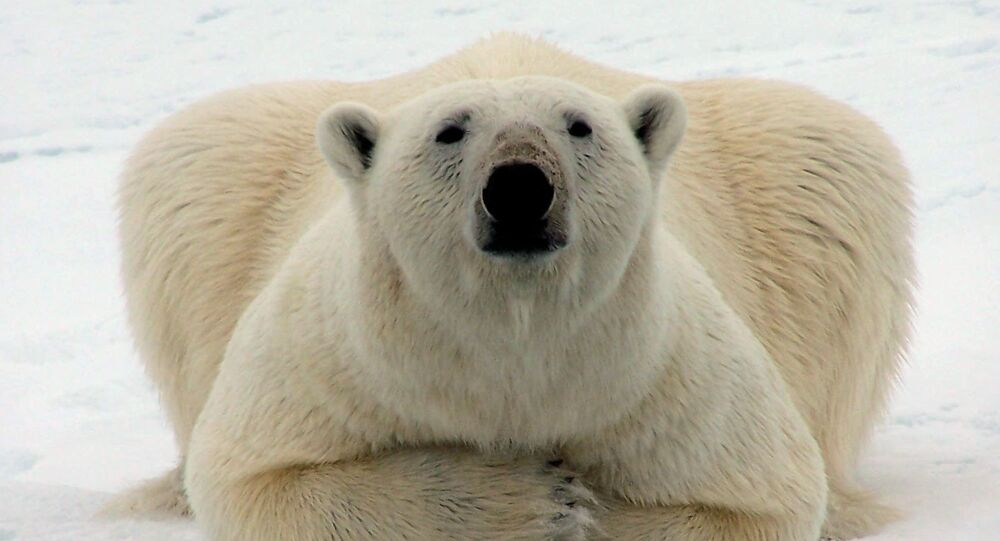 Un ours polaire (image d'illustration)