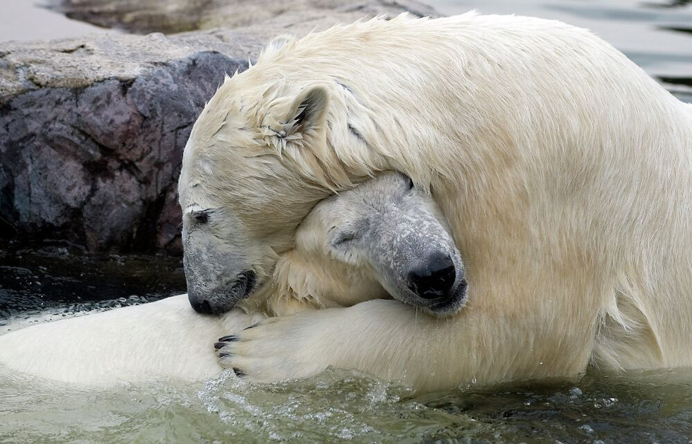 L'ours blanc, géant de l'Arctique