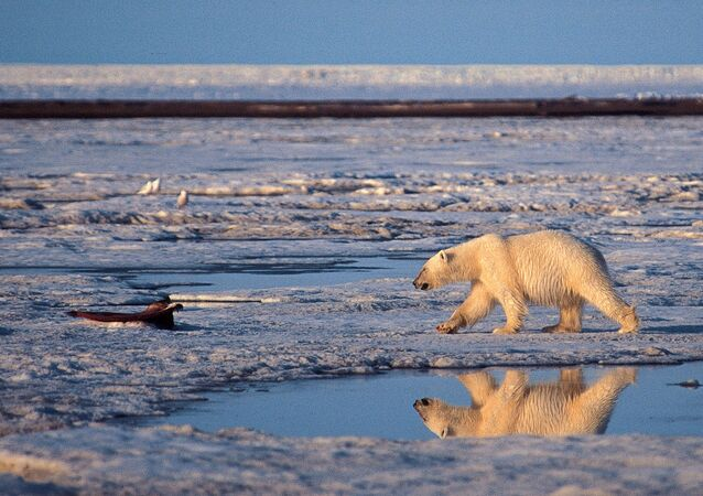 A polar bear in the Arctic National Wildlife Refuge