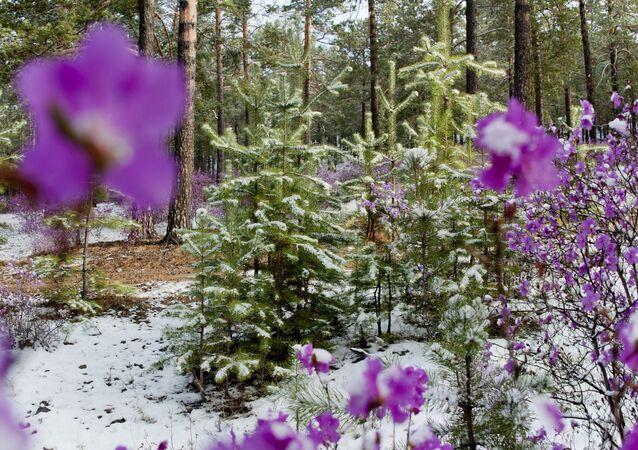 Dans les forêts de la région du Baïkal