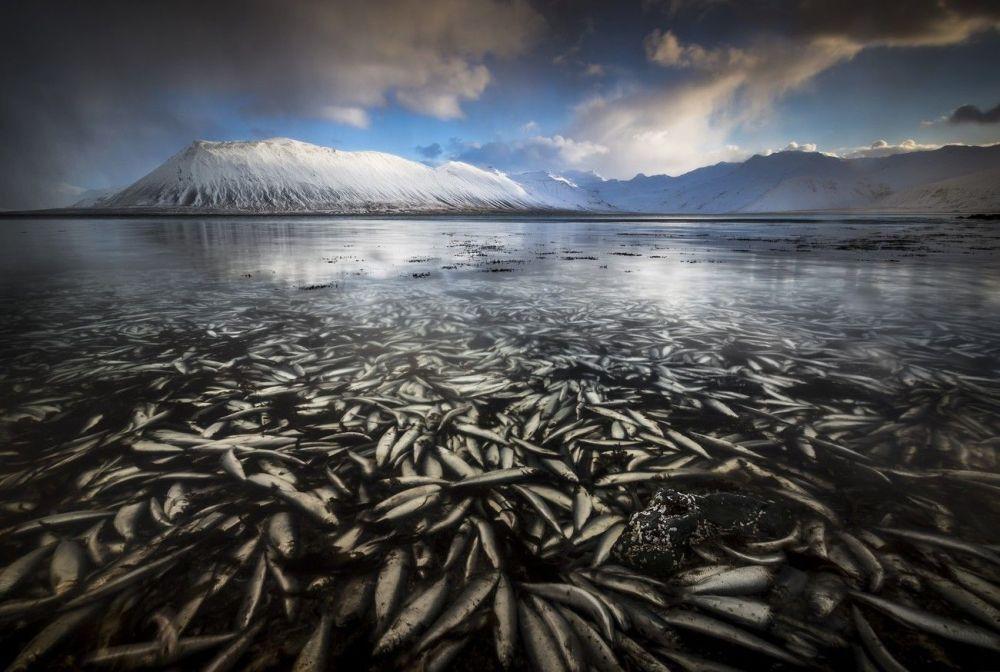 Des tonnes de poisson gelé dans les fjords islandais