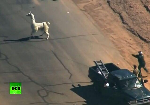 Etats-Unis: chasse aux lamas dans les rues de Phoenix