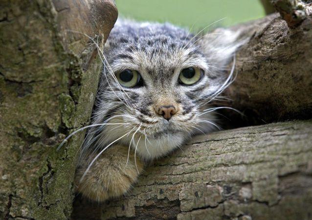 Un chat de Pallas
