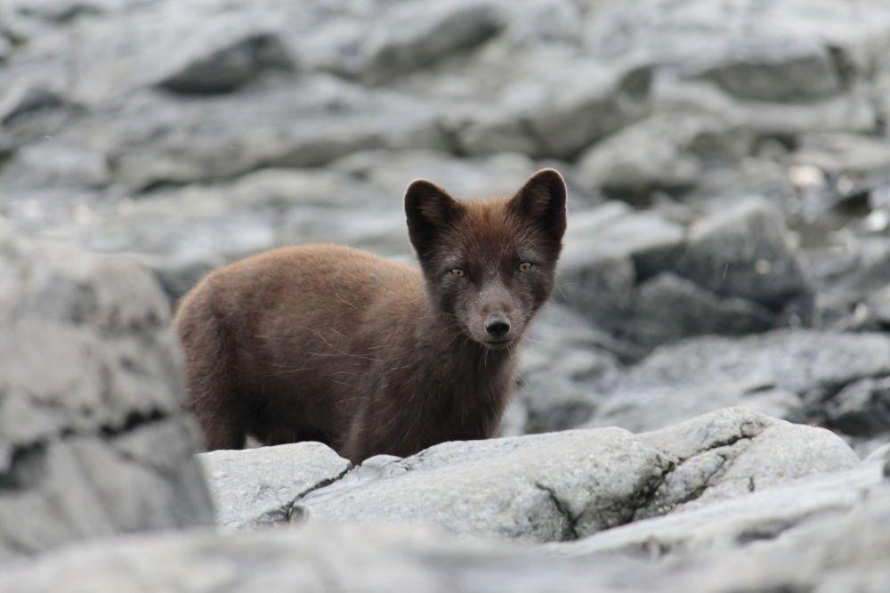 Le renard polaire du Kamtchatka