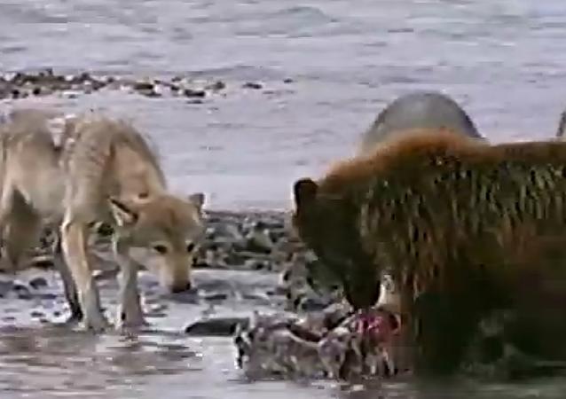 Un grizzly contre quatre loups