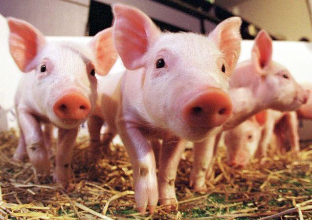 Les premiers porcs clonés du monde
