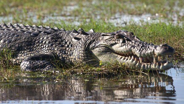 Saltwater Crocodile - Sputnik France