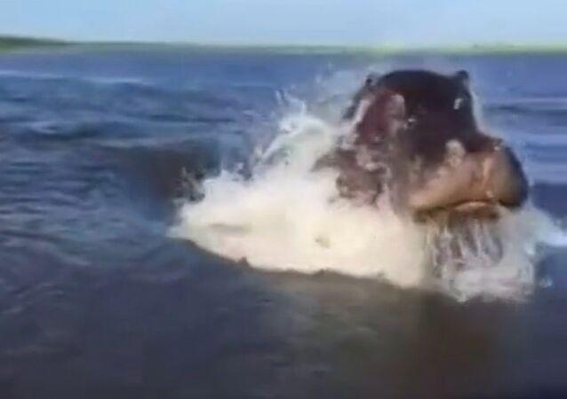 Un hippopotame fait une course poursuite