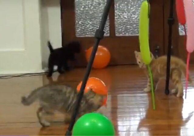 Des chats s'amusent avec des ballons