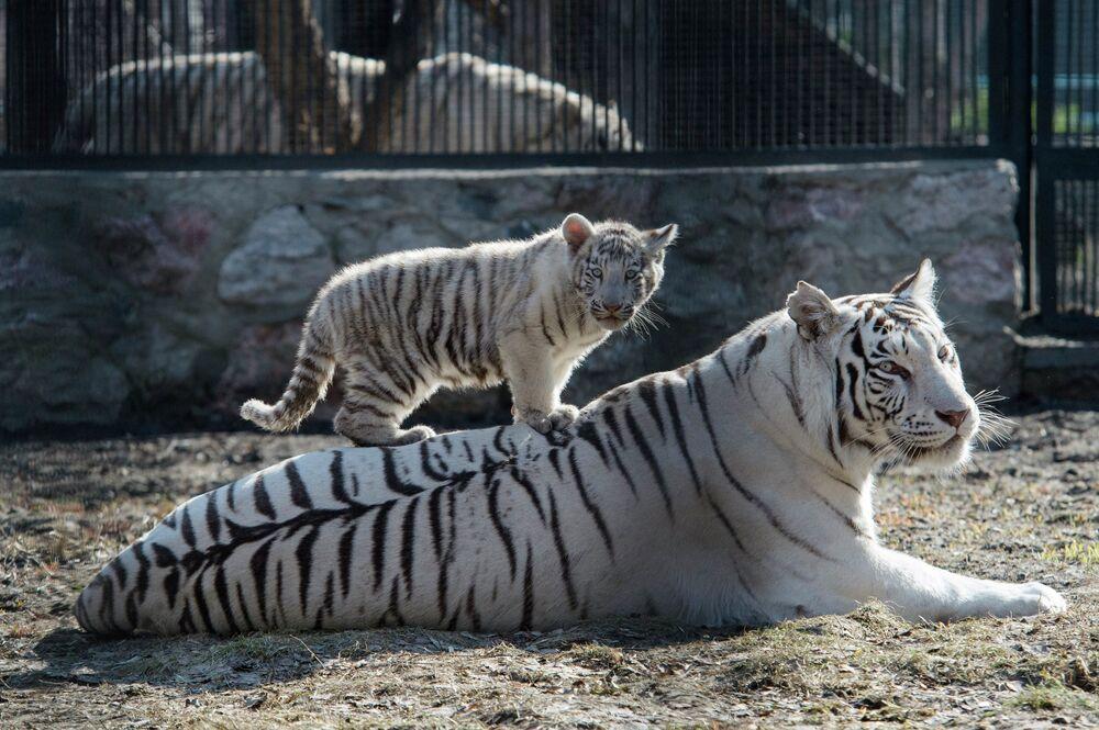 La tigresse blanche Zaïa avec son petit né l'hiver dernier dans la cage du zoo de Novossibirsk