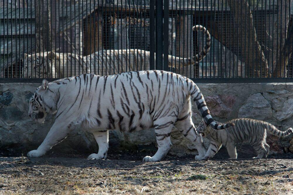 Les charmants tigres du Bengale blancs du zoo de Novossibirsk