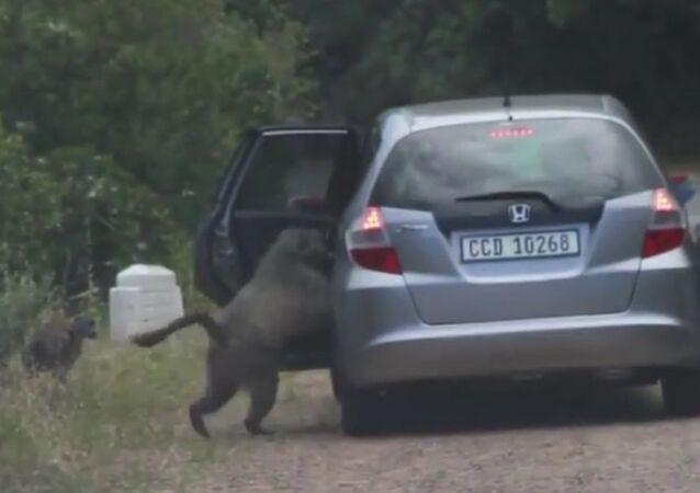 Des babouins voleurs de pizza