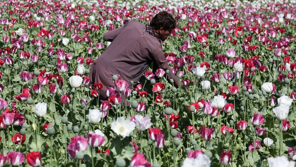 An Afghan farmer works on a poppy field collecting the green bulbs swollen with raw opium, the main ingredient in heroin. - Sputnik France