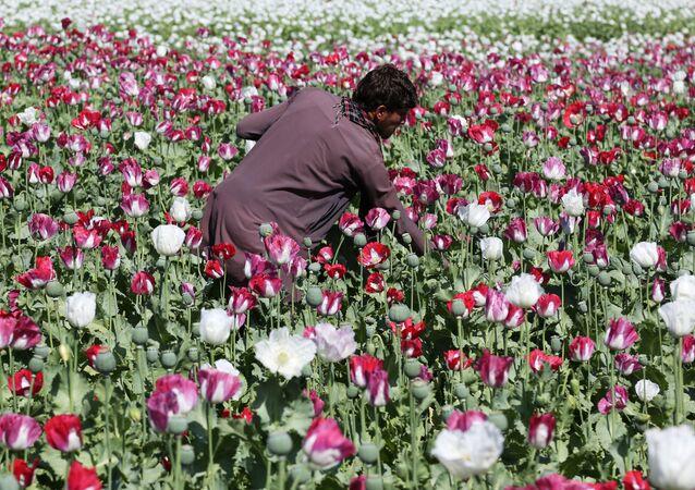 Culture de pavot en Afghanistan