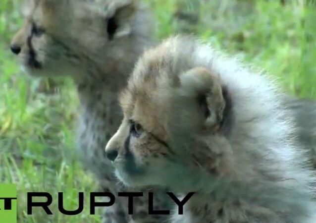 Allemagne: cinq bébés guépards au zoo de Rostock