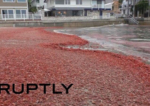 San-Francisco: une plage recouverte de milliers de crabes