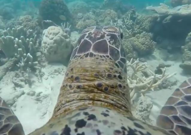 Australie: une tortue nous fait découvrir la Grande Barrière de corail