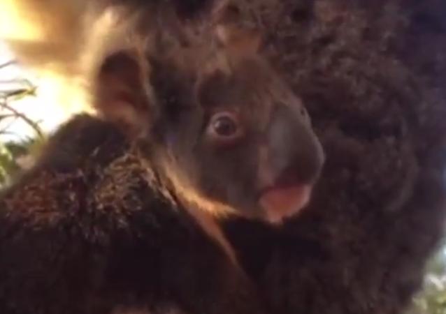 Un koala nouveau-né découvre le monde