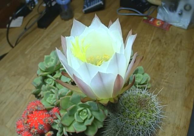 La floraison d'un cactus filmée en accéléré