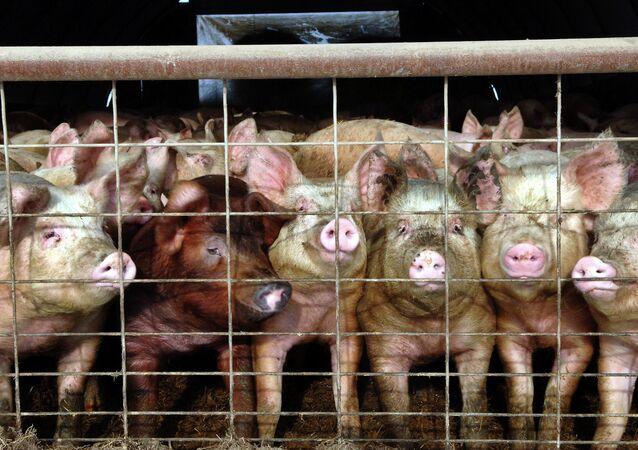 «Les hommes sont les plus cruels des animaux!» Des cochons mutants indignent la toile