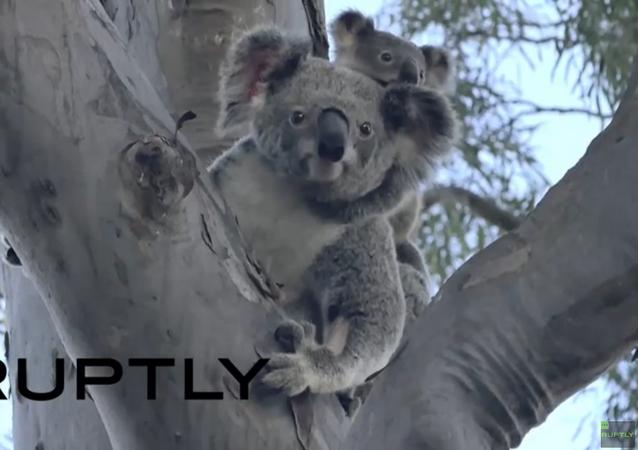 Australie: la koala Lizzy et son bébé de retour dans la nature