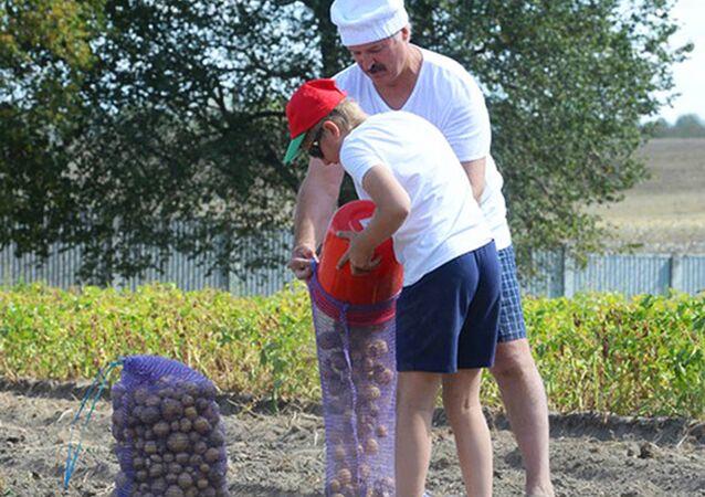 Alexandre Loukachenko ramasse des pommes de terre dans la résidence présidentielle Drozdi
