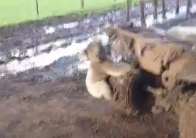 Pourchassée par un koala… en manque de câlins