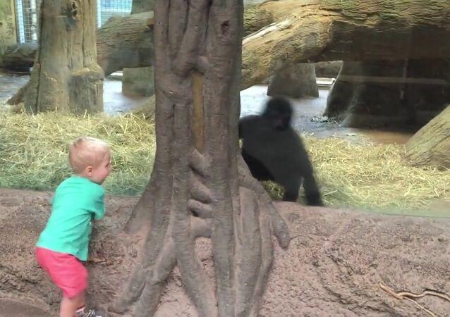 Cache-cache avec un gorille