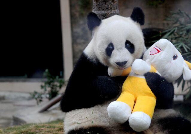 Panda Pan-Pan