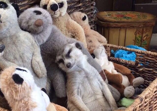 Ce suricate mignon qui, bien qu'extrêmement fatigué, persévère à se tenir droit et éveillé.