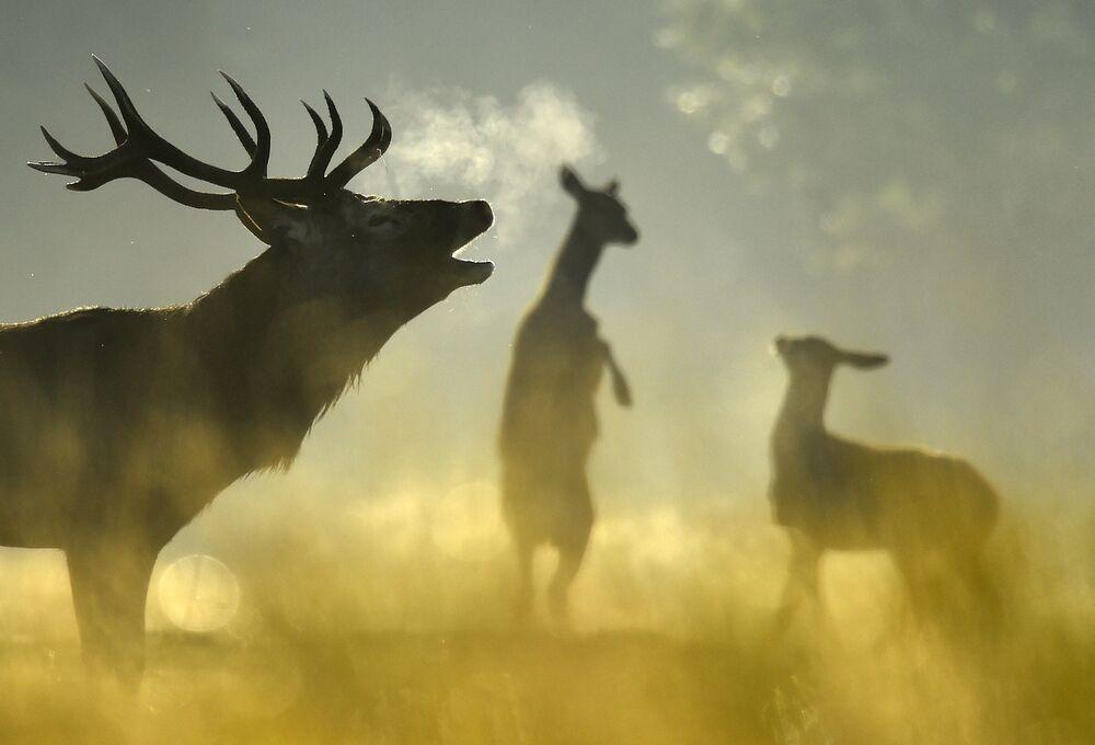 Des cerfs élaphes dans Richmond Park à Londres