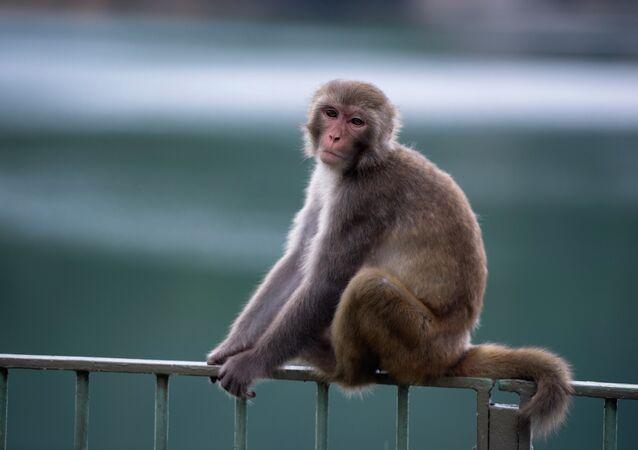 Un macaque