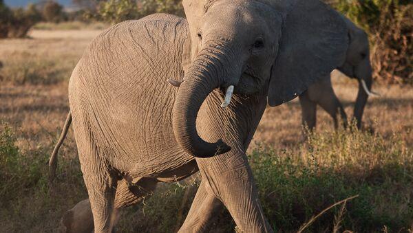 Африканский слон - Sputnik France