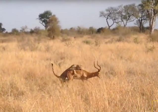 Guépard contre impala